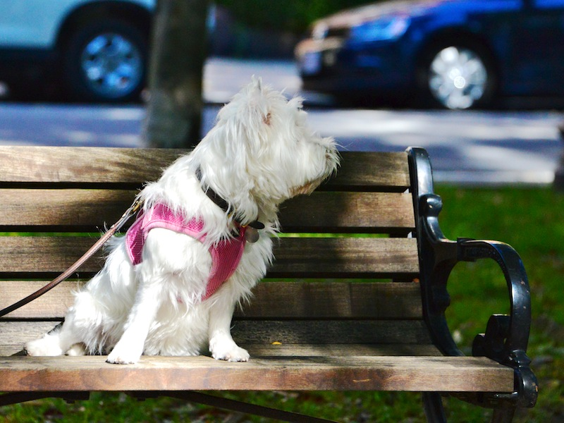 CHE_5064 - Version 22014-10-12-Poppy-Westie-bench-sitting-hobby-© 2014 Penny Cherubino copy