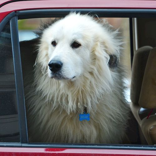 CHE_5736 - Version 22015-01-16-great-Pyrenees-in-car-window-© 2014 Penny Cherubino