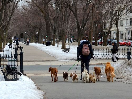 Sm DSC_5315 - Version 22015-03-20-dog-walker-6-dogs-commonwealth-avenue-mall-© 2014 Penny Cherubino (1)