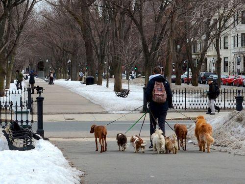 Sm DSC_5315 - Version 22015-03-20-dog-walker-6-dogs-commonwealth-avenue-mall-© 2014 Penny Cherubino (1)