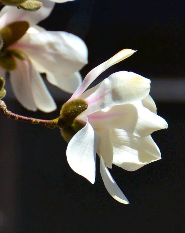 CHE_6845 - Version 22015-04-16-spring-back-bay-boston-magnolia-© 2014 Penny Cherubino