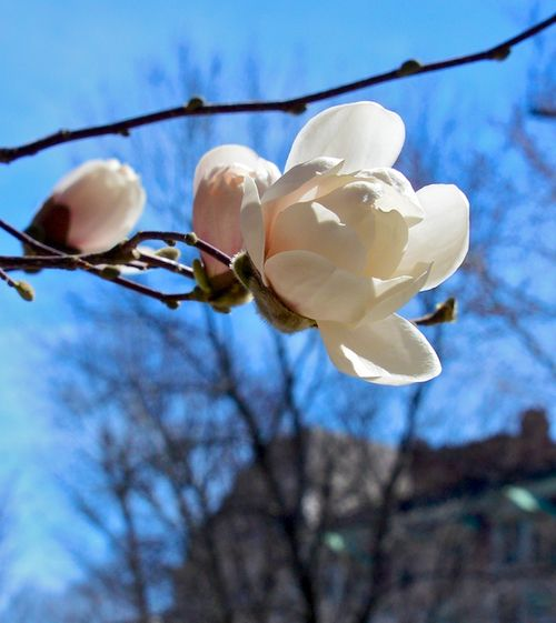 CHE_6883 - Version 22015-04-16-spring-back-bay-boston-magnolia-© 2014 Penny Cherubino
