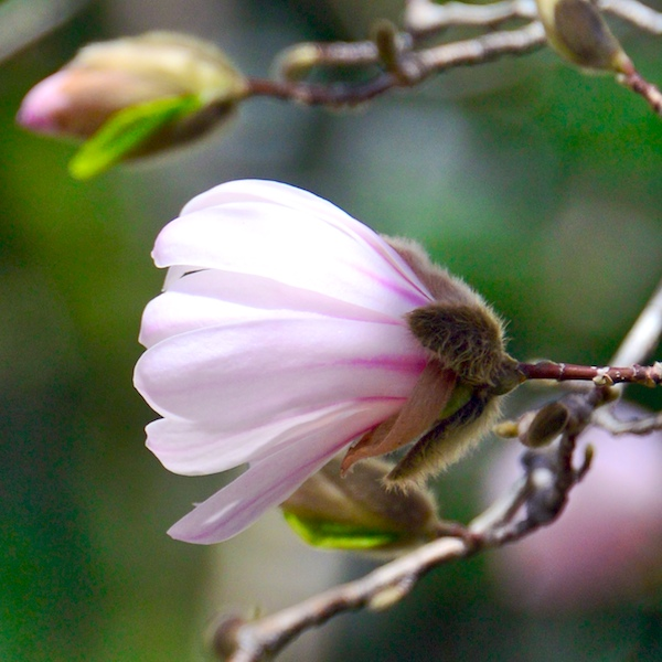 CHE_6863 - Version 32015-04-16-spring-back-bay-boston-magnolia-© 2014 Penny Cherubino