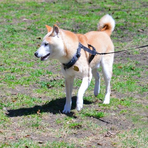 CHE_6964 - Version 22015-04-19-Petie-sheba inu-15 years old-© 2014 Penny Cherubino