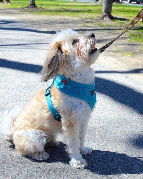 DSC_5638 - Version 22015-04-30-Leo-good-urban-dogs-Havanese-© 2014 Penny Cherubino