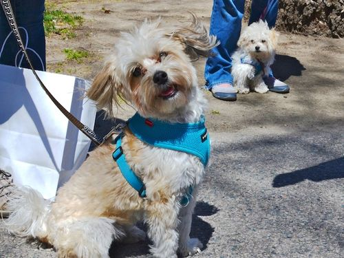 DSC_5650 - Version 32015-04-30-Leo-wolfgang-good-urban-dogs-Havanese-maltipoo-© 2014 Penny Cherubino