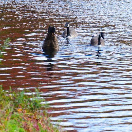 CHE_9397 - Version 22015-10-30esplanade-canoeway-canada-geese-foliage-© 2014 Penny Cherubino