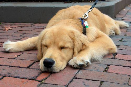 DSC_7607 - Version 22015-12-14gus-golden-puppy-back-bay-boston-© 2014 Penny Cherubino