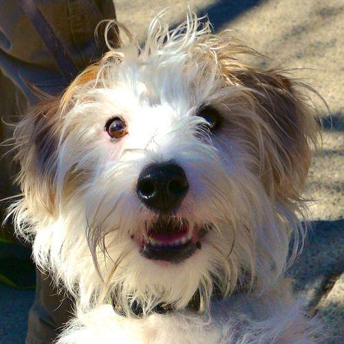 CHE_9762 - Version 22016-02-19Guinness- Irish-Jack-Russell-Terrier -© 2014 Penny Cherubino
