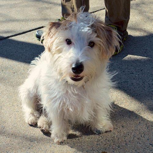 CHE_9772 - Version 22016-02-19Guinness- Irish-Jack-Russell-Terrier -© 2014 Penny Cherubino