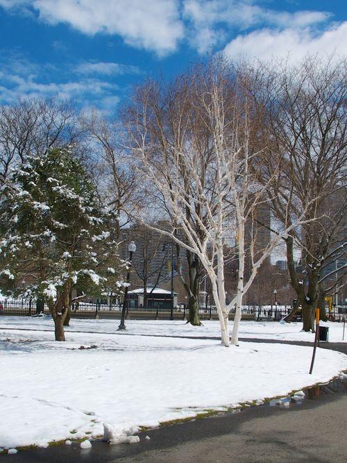 IMG_9508 - Version 22016-03-21Spring-snow-flowers-birch-tree© 2014 Penny Cherubino