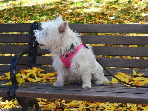 DSC_6920 - Version 22015-10-16poppy-westie-leaves-bench-© 2014 Penny Cherubino copy