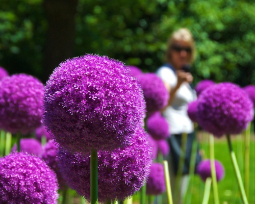 PMC_4550 - Version 22012-06-15-giant allium-public-graden-boston-© 2011 Penny Cherubino